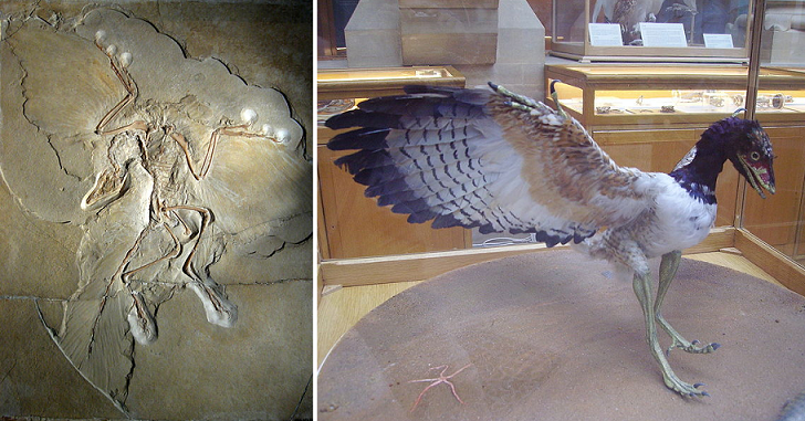 Archaeopteryx, a feathered dinosaur, is an ancestor of the modern bird.